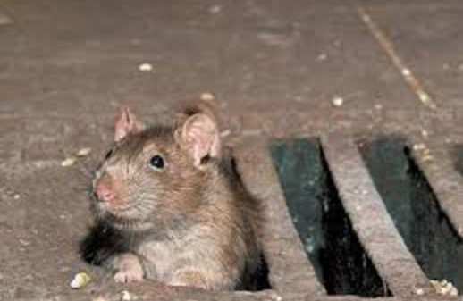 Ratte aus guly rockstroh gmbh